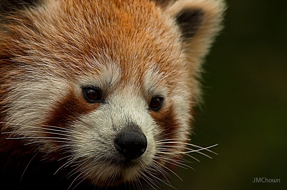 Red Panda by JMChown