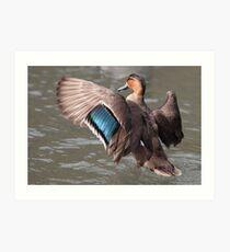 Eurasian Teal Duck Art Print