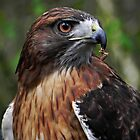 Red Tailed Hawk by Kathy Yates