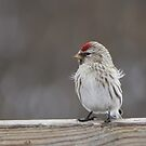 Common Redpoll by whisperjo