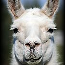 Llama by Angie O'Connor