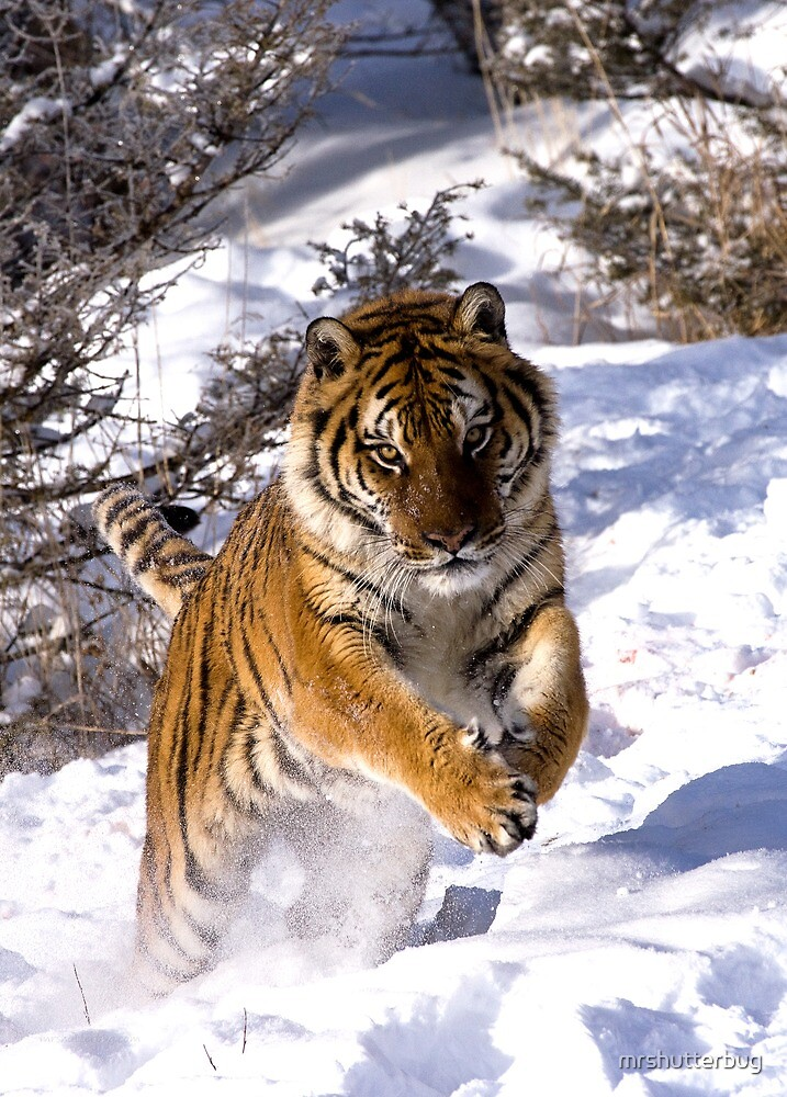 Leaping Tiger by mrshutterbug
