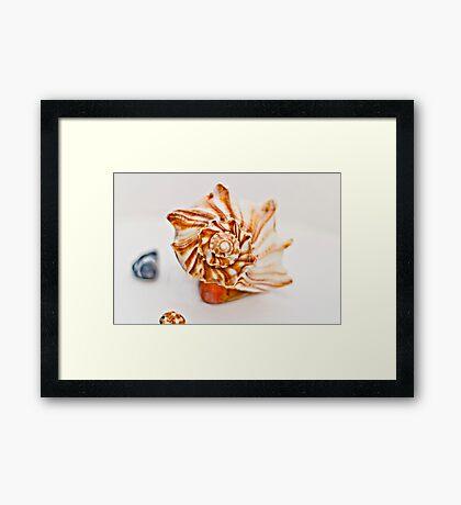 CONCH SHELL. Framed Print