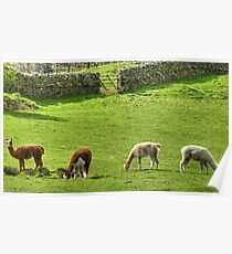 Long-Necked Cumbrian Fell Sheep Poster