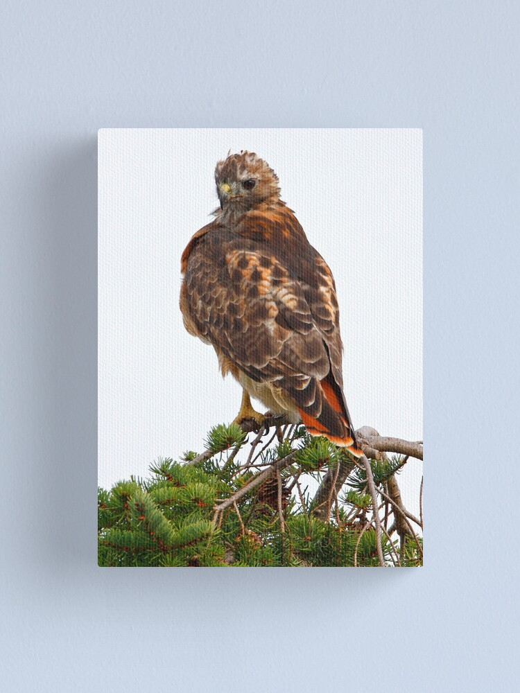 Alternate view of Red Tailed Canvas Print