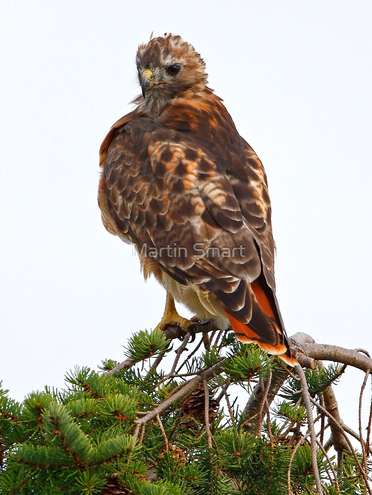 Red Tailed by Martin Smart