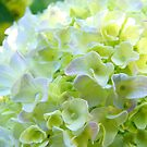 Paster White Yellow Green Hydrangea Flowers art by BasleeArtPrints