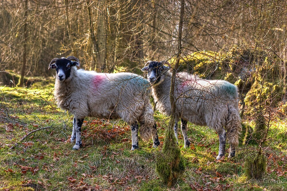 Rare Breed Cumbrian Wood Sheep by Jamie  Green