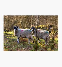 Rare Breed Cumbrian Wood Sheep Photographic Print