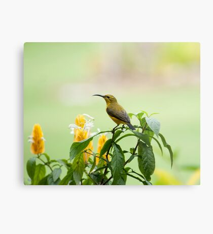 Mellow Yellow - sunbird Metal Print