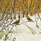 DOVES IN THE DUNE by RGHunt