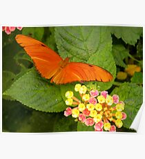 Orange butterfly( Dryas iulia ) Poster