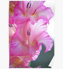 Pink Gladiola Poster