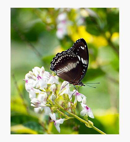 Sunshine - common eggfly butterfly  Photographic Print