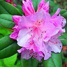 Rhododendron Bloom by debbiedoda