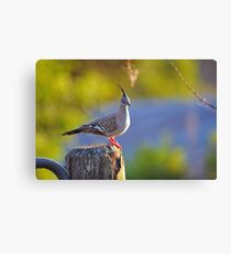 Crested Pigeon On Gate Post To The Back Paddock. Brisbane, Queensland, Australia. Canvas Print