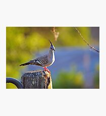 Crested Pigeon On Gate Post To The Back Paddock. Brisbane, Queensland, Australia. Photographic Print