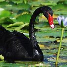 Black Swan 2 by robert murray