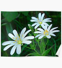 White Hedgerow Flower Poster