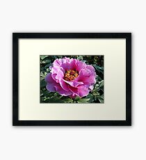 Blooming perfectly... Framed Print