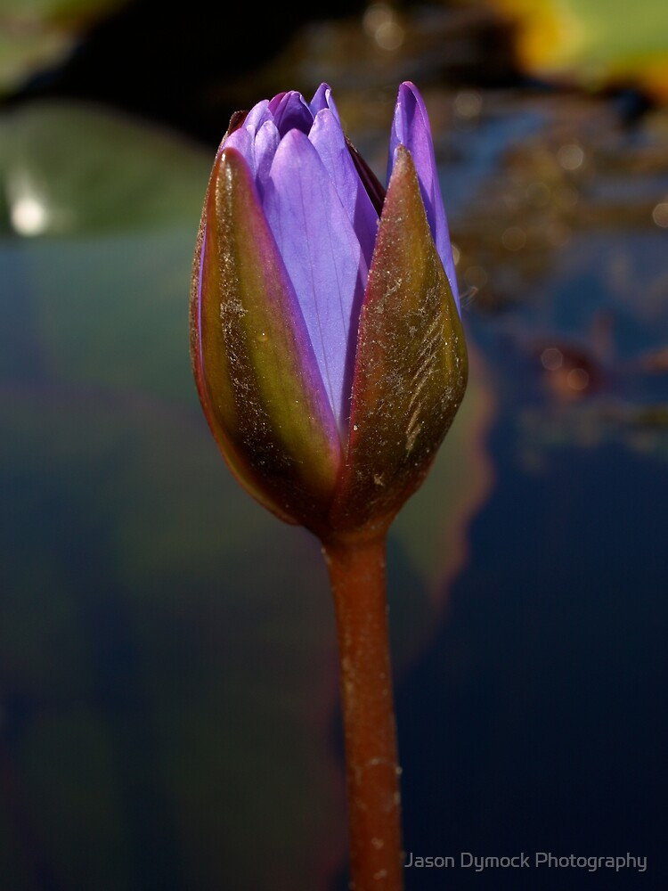 Lily Bud by Jason Dymock Photography