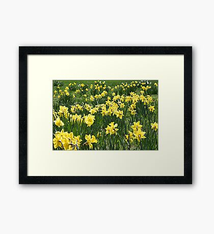 A Field Of Daffodils Framed Print
