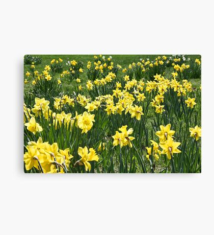 A Field Of Daffodils Canvas Print