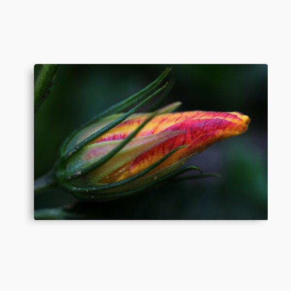 Hibiscus divaricatus Canvas Print
