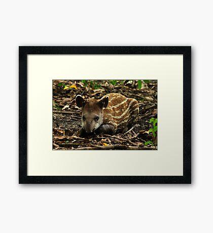 Lowland Tapir (Tapirus terrestris) - Bolivia Framed Print
