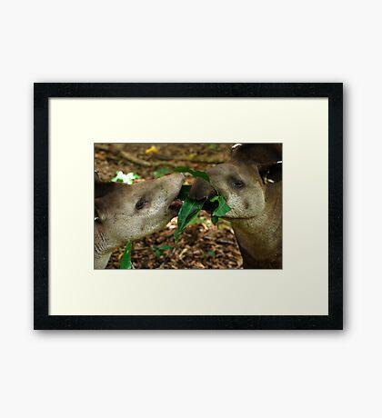 Lowland Tapirs (Tapirus terrestris) - Bolivia  Framed Print