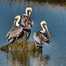 Three Pelicans Preening by J Jennelle