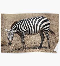 Plains Zebra, Serengeti National Park, Tanzania. Poster