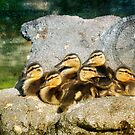 Six Ducklings: A moment of peace in the evening light by Myillusions