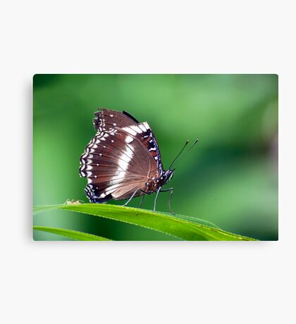 David and Goliath - butterfly  Canvas Print