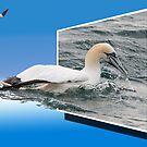 Gannets by DigitallyStill