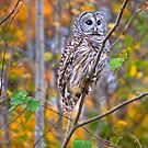 Juvenile Barred Owl in Autumn Forest by J Jennelle