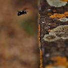 I Lichen Black and White Bees... by Paul  Eden