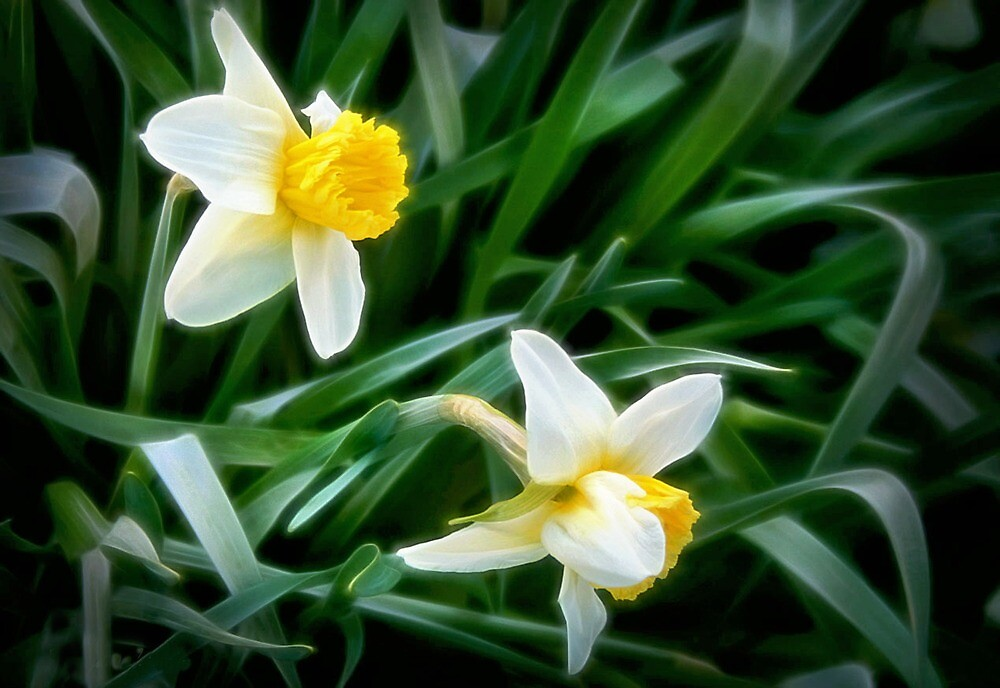 Daffodils on an April Day by Nadya Johnson