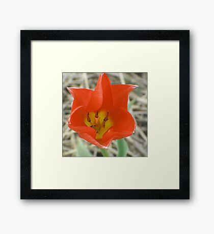 Holland (Michigan) Tulip (for John 44) Framed Print