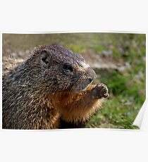 Marmot Knuckles Poster