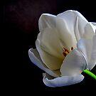 Tulip by Gloria Abbey