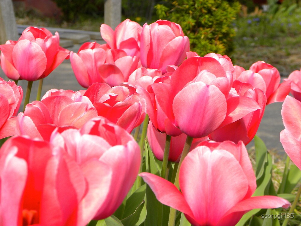 pink tulips by scorpgirl35