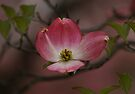 Pink Dogwood Blossom by Sandy Keeton