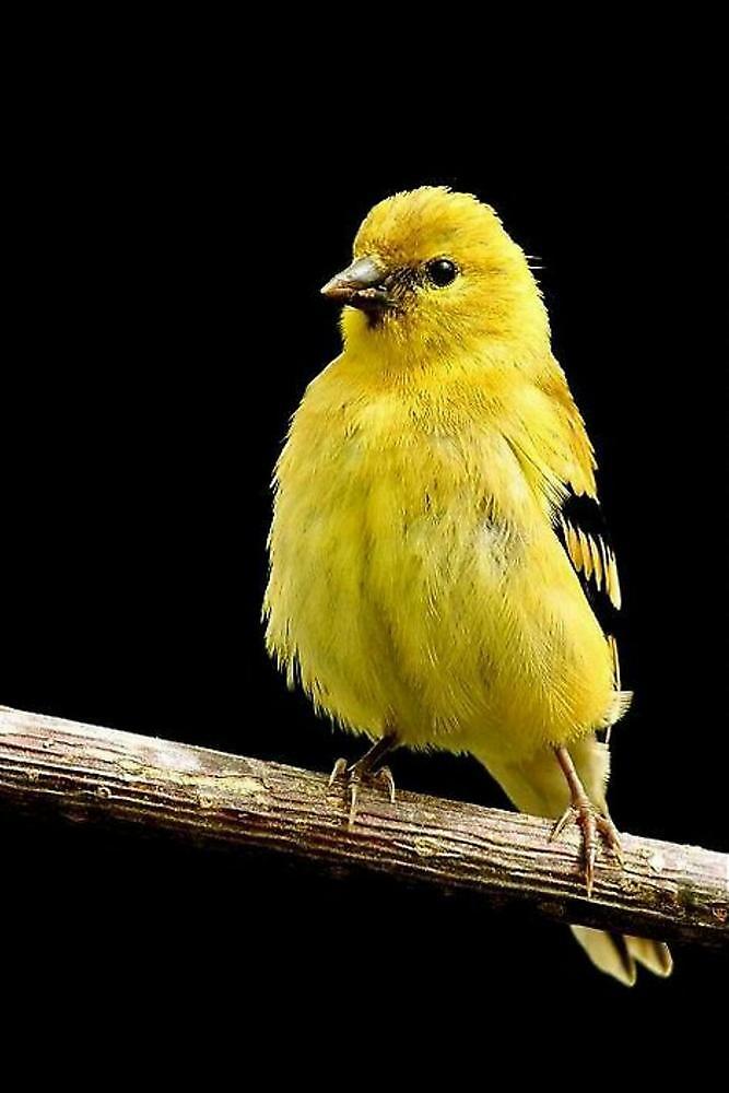 State Bird of Washington...GOLDFINCH by RoseMarie747