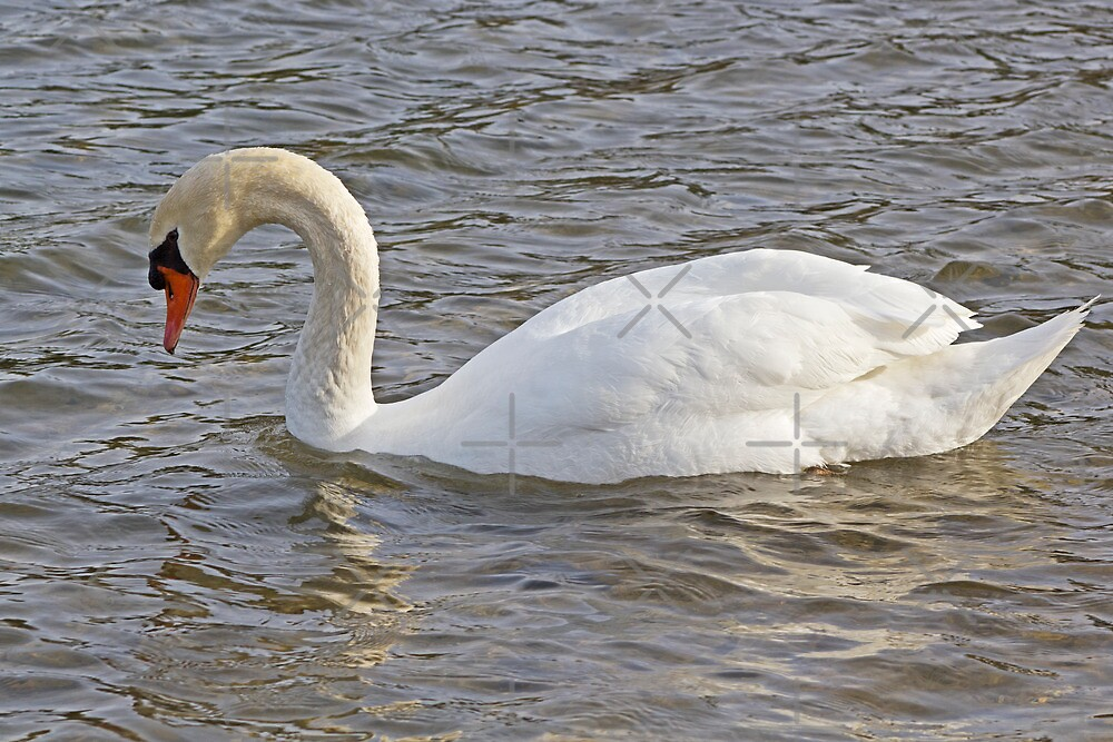 The Mute Swan by Megan Noble