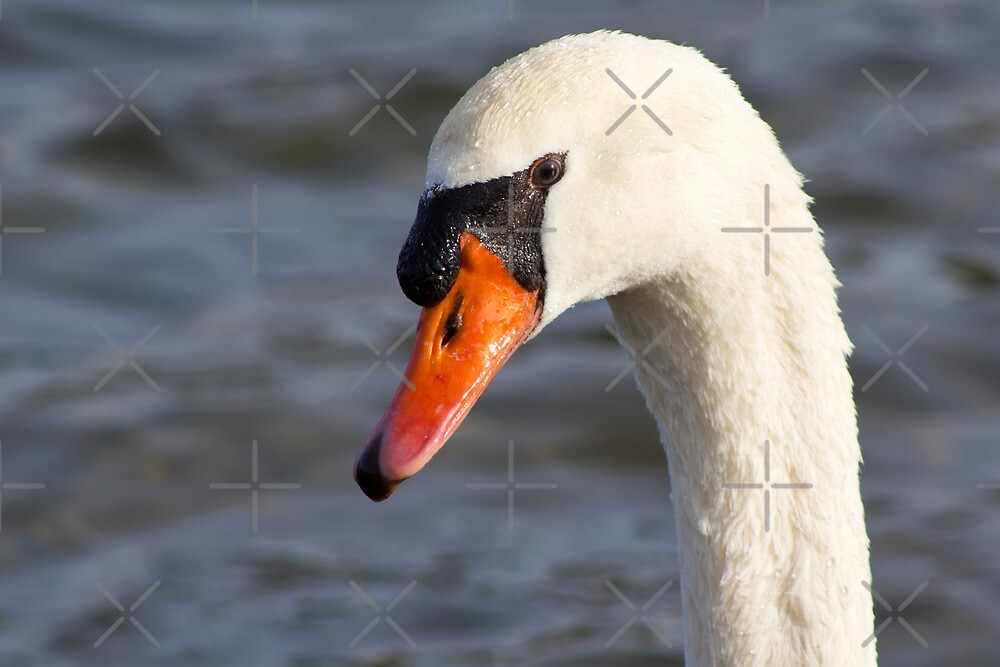 Portrait of a Swan by Megan Noble