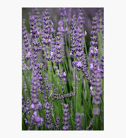 Lavender Blue Photographic Print