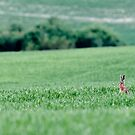Hares in the grass by Yves Roumazeilles