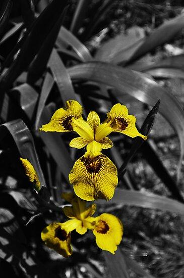 Yellow Iris by John Hare