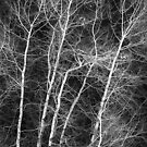 White Trees by Richard Downes
